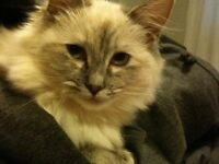Two Ragdolls in need of rehoming