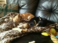 Loving home required for two loving chihuahuas