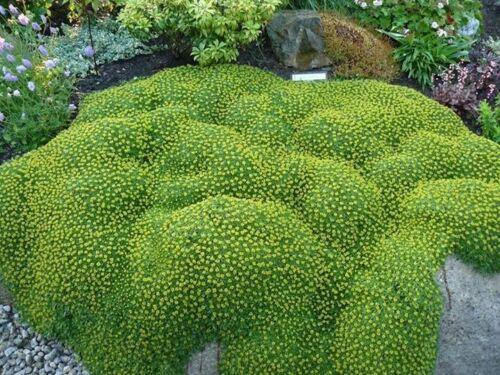 1 x Azorella trifurcata 'Nana' (Bodendecker) Andenpolster SELTENHEIT