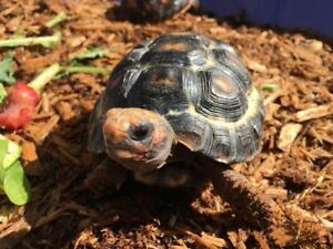 Two Red Foot (cherry head) tortoise for sale