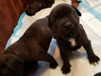 Staffordshire Bull Terrier Dog dogs Puppies puppy