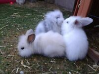 baby dwarf lop rabbits, well handled and used to children