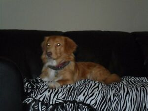 Lost Nova Scotia Duck Toller