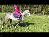 Lovely 13hh show/PC gelding