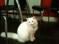 Missing White Cat
