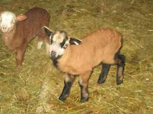 American Blackbelly rams and ewes