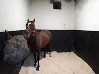 15.2 tb mare for sale