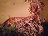 Corn Snake, Adult Female with Vivarium, heat mat etc