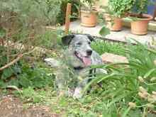 Diesel the Blue Cattle Dog - Fully Trained Argyle Donnybrook Area Preview