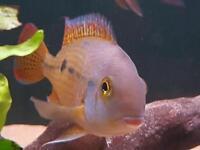 Nicaragua Cichlid