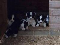 Welsh Cardigan Corgi Pups. Ready now.