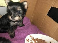 male and female yorki puppys