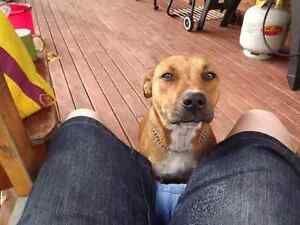 Lookin 4 Sasha Approx 7yr old desex tan staffy X Logan Central Logan Area Preview