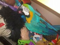 Six years old blue macaw