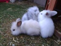 baby dwarf lop rabbits, well handled, insured, litter trained.