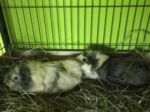 2 Adorable Female Guinea Pigs