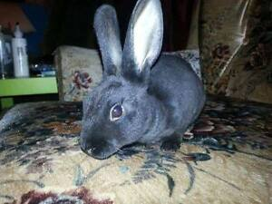 black female Mini Rex bunny