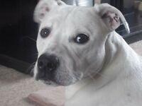 Staffordshire bull terrier x American bull dog rehoming