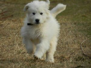 All White Great Pyrenees puppies for sale