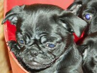 PUG PUPPIES 2 GIRLS LEFT OUT OF A LITTER OF 5