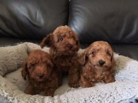 Quality Rare F2b Toy Fox Red Goldendoodle Puppies