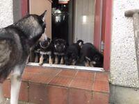 Germen shepherd/husky female puppy