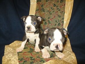 Boston Terrier Puppies for Sale Today!!