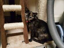 Female Rescued Kitten - Cat Rescue Newcastle Medowie Port Stephens Area Preview