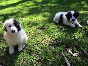 Border Collie Pups Gilgandra Gilgandra Area Preview