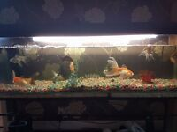 fancy gold fish for sale with 4ft tank