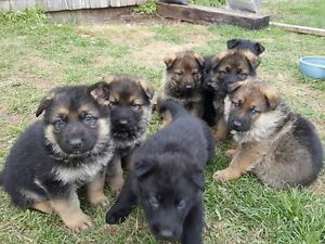 CKC registered East German Shepherds