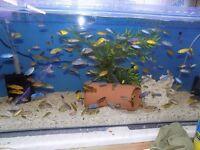 Malawi Cichlids For Sale