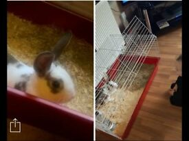 male rabbit for sale £40