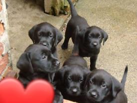 Black purebred Labrador puppies