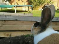Tri coloured dutch rabbits