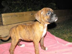 Beautiful pure bred boxer puppies