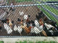 1-2 Year old mixed breed laying hens
