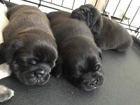 stunning 3/4 pug puppies