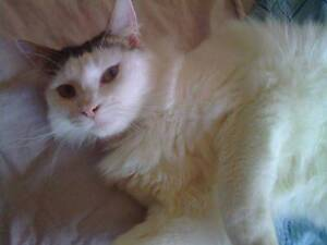 Gorgeous 2yr old Female Ragdoll x Sunbury Hume Area Preview