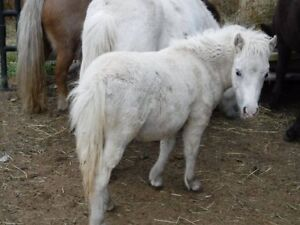 AMHA registered Miniature Horses