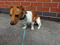 Miniture Jack Russell in white / tan colour