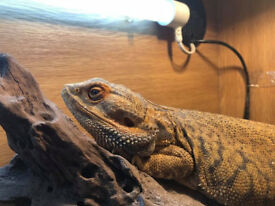 'Bubbles' the 5 Year Old Bearded Dragon (German Giant)