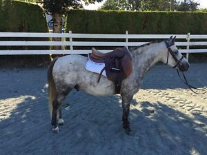 Shadow - 7 year old Registered Welsh Pony Gelding