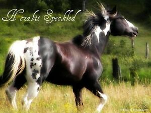 APHA STALLION FOR SALE