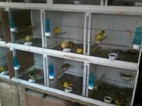 Canary s fifes x 12 cocks 100