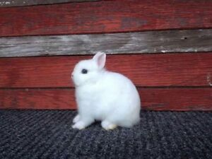 Pedigreed Netherland Dwarf Breeding Stock