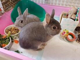 Netherland Dwarf Rabbits vaccinated and litter trained