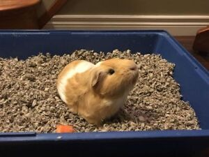 Guinea Pig with Cage, bedding, hay and accessories