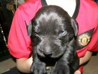 K.C registered Black Labrador puppies
