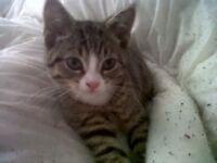 Missing tabby male cat